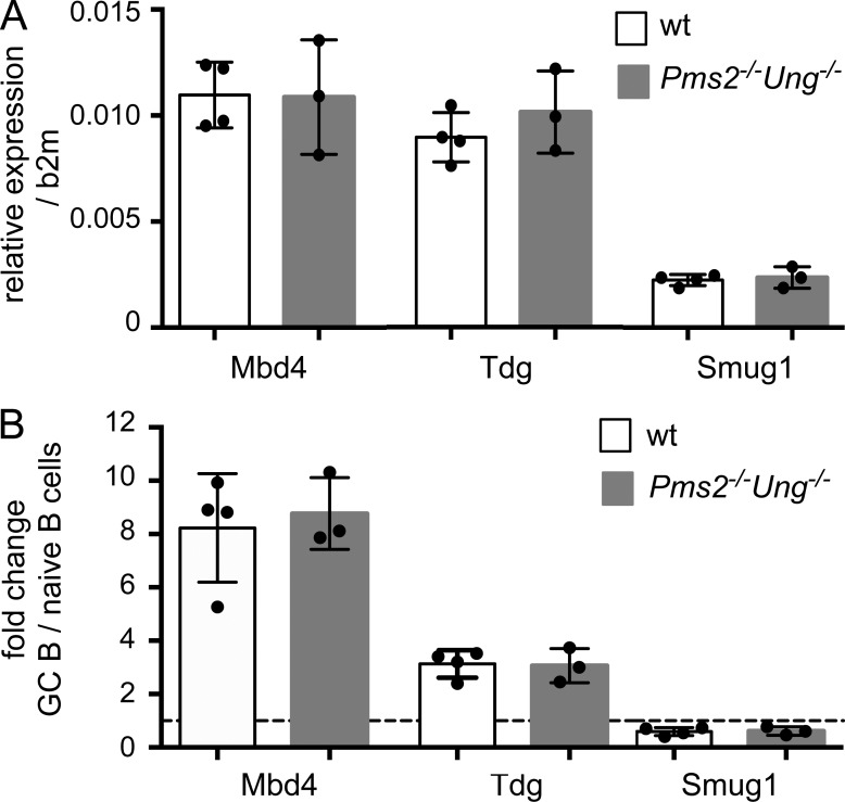 Analysis of uracil glycosylase expression levels by qRT-PCR. (A) Relative expression levels of Mbd4 , Tdg , and Smug1 in naive B cells (B220 + GL7 − CD95 − ) from spleen of immunized WT ( n = 4) and Ung −/− Pms2 −/− ( n = 3) mice, compared with β-2 microglobulin (b2m). (B) Relative expression of Mbd4 , Tdg , and Smug1 in GC B cells (B220 + GL7 + CD95 + ) compared with naive B cells from spleens of WT ( n = 4) and Ung −/− Pms2 −/− ( n = 3) mice. The dotted line represents a ratio of 1 between GC and naive B cells. Quantification was performed in triplicates for RNA samples from three to four different mice. Error bars represent SD.