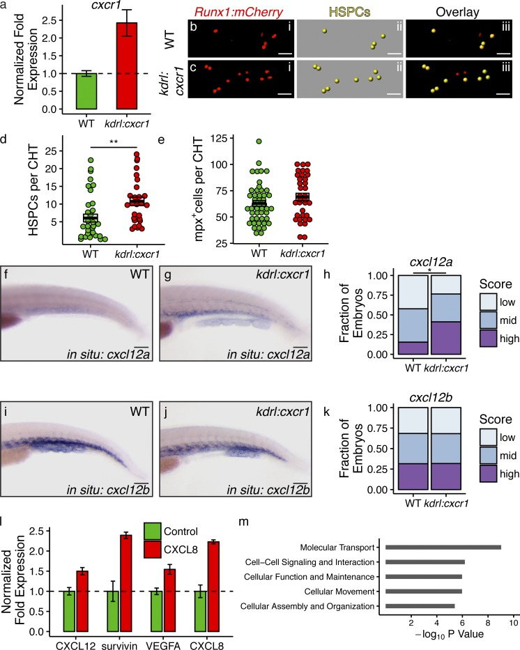 Cxcl8/cxcr1 signaling in endothelial cells induces gene expression changes favoring HSPC colonization . (a) Kdrl:cxcr1;kdrl:mCherry zebrafish and kdrl:mCherry clutchmates (WT) were dissociated at 72 hpf, and mCherry + endothelial cells were FACS sorted. Quantitative PCR for cxcr1 is shown. The experiment was repeated three times with similar results. (b–d) Kdrl:cxcr1;Runx1:mCherry zebrafish were imaged at 72 hpf for HSPC colonization of the CHT (a and b). Bars, 20 µm. (d) Plot showing increased HSPC colonization in kdrl:cxcr1 animals (P = 0.001, Wilcoxon's rank sum test; n = 35 for WT control; n = 28 for kdrl:cxcr1 ) The experiment was repeated twice with similar results; combined results are shown. (e) Mpx:GFP (WT) and kdrl:cxcr1;mpx:GFP zebrafish were imaged at 72 hpf, and neutrophil numbers in the CHT were quantified (p = NS, Student's t test; n = 47 for WT control; n = 35 for kdrl:cxcr1 ). The experiment was repeated three times with similar results. Combined results are shown. (f–k) Kdrl:cxcr1 and WT clutchmates were fixed at 72 hpf and WISH was performed for cxcl12a (f–h) and cxcl12b (i–k). Bar, 100 µm. h and k show the results of blinded semiquantitative scoring of CHT staining for each probe ( cxcl12a: P = 0.03, Wilcoxon's rank sum test, n = 26 for WT control and n = 34 for kdrl:cxcr1 ; cxcl12b : p = NS, Wilcoxon's rank sum test, n = 19 for WT control and n = 22 for kdrl:cxcr1 ). The experiment was performed three times with similar results; combined results are shown. (l) HUVECs were serum starved for 12 h, and then treated with 10 ng/ml rhCXCL8 or vehicle control. Quantitative RT-PCR was performed for expression of CXCL12, CXCL8, and survivin and VEGFA. (m) RNA sequencing was performed on HUVEC RNA. IPA analysis identifying the top enriched molecular and cellular functions is shown. The HUVEC experiments were performed with biological duplicates.