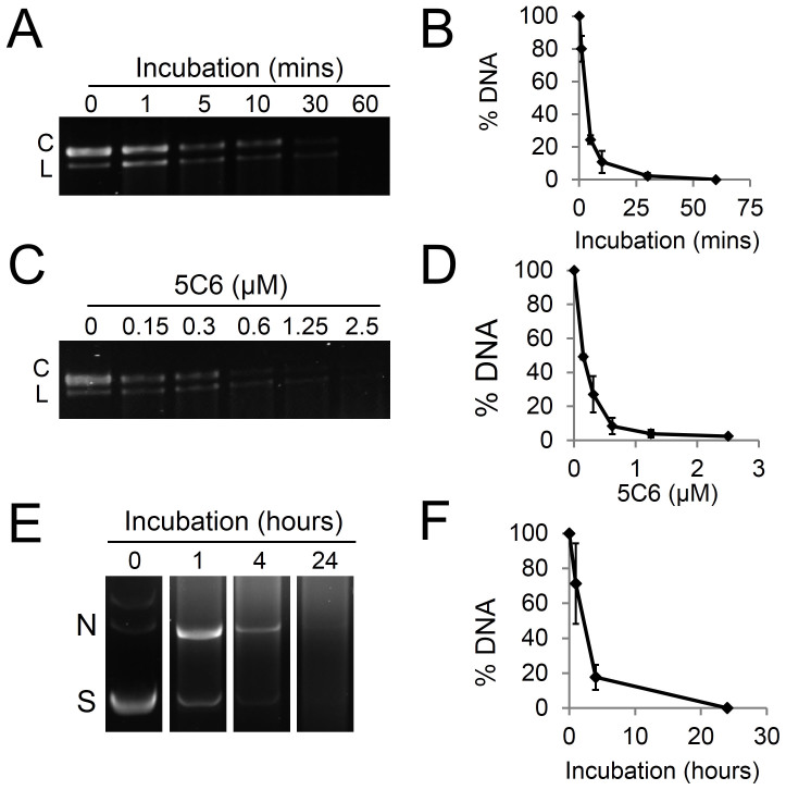 5C6 is a nucleolytic lupus autoantibody. (A): 5C6 degrades single-stranded DNA in a time-dependent manner. Single-stranded M13mp18 circular DNA was incubated with buffer containing 2.5 μM 5C6 for 0–60 minutes, followed by visualization of DNA on an agarose gel. (B): The percentage of M13mp18 DNA remaining after incubation with 5C6 was quantified relative to untreated M13mp18 DNA. (C): 5C6 degrades single-stranded DNA in a dose-dependent manner. M13mp18 DNA was incubated with buffer containing 0–2.5 μM 5C6 for 10 minutes, followed by visualization on an agarose gel. (D): The percentage of M13mp18 DNA remaining after incubation with 5C6 as described in C was quantified relative to untreated M13mp18 DNA. (E): 5C6 degrades double-stranded DNA. pBluescript double-stranded plasmid DNA was incubated with buffer containing 6.6 µM 5C6 for 0–24 hours followed by visualization on an agarose gel. (F): The percentage of pBluescript plasmid DNA remaining after incubation with 5C6 as described in E was quantified relative to untreated pBluescript. C = circular conformation. L = linear conformation. N = nicked conformation. S = supercoiled conformation. Error bars: SEM.