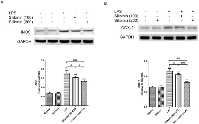 Effects of silibinin on Lipopolysaccharide (LPS)-induced Nitric Oxide Synthase (iNOS) (A) and Cyclooxygenase (COX)-2 (B) protein expression in the Iris-Ciliary Body (ICB) of rats. For each group, the rat ICBs were collected and rat ICB lysates were prepared and analyzed by immunoblotting/western blotting using antibodies against iNOS, COX-2, and glyceraldehyde 3-phosphate dehydrogenase (GAPDH; to normalize protein expression). The optical density of the protein bands for iNOS, COX-2, and GAPDH were analyzed. The data are presented as mean ± SD of four rats per group. The differences in the iNOS and COX-2 protein levels in ICBs of rats from the groups were compared using an ANOVA, followed by Tukey's post hoc test. **  P