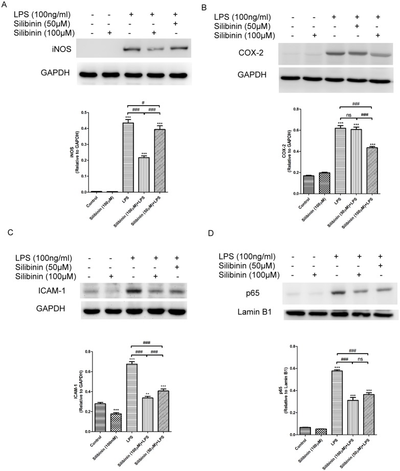 Silibinin inhibits Lipopolysaccharide (LPS)-induced Nitric Oxide Synthase (iNOS), Cyclooxygenase (COX-2), and Intercellular Adhesion Molecule (ICAM-1) expression in RAW cells by suppressing NF-kB activation. Cells were pretreated with 50 and 100 μM of silibinin for 18 h and then were cotreated with 100 ng/mL of LPS for 24 h. The cell lysates were collected to measure the expression of iNOS (A), COX-2 (B), and ICAM-1 (C) protein by western blotting. The optical density of the protein bands for iNOS, COX-2, ICAM-1, and glyceraldehyde 3-phosphate dehydrogenase (GAPDH) was analyzed. The results are presented as the mean ± SD of three independent experiments. The differences in the iNOS, COX-2, and ICAM-1 protein levels in RAW cells from the groups were compared using an ANOVA followed by Tukey's post hoc test. ns, not significant; ***  P