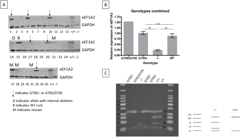 Expression analysis of mice with mutations in eEF1A2. ( A ) Representative western blot showing eEF1A2 expression in protein extracts from brains of mutant founder mice from the CRISPR gene targeting experiment. The negative control was a brain extract from a wasted mouse (denoted −/−) and the loading control was GAPDH. The blot images are cropped for clarity and a larger area is shown in the Supplementary Data File . ( B ) Quantification of eEF1A2 expression in brain samples from mice with key genotypes. Controls were aged matched wild-type mice that were offspring of the F0+/− heterozygous mice. Expression levels are derived from three repeats of the Western analysis, normalised to GAPDH and expressed relative to the average obtained from three independent wild-type controls. **Indicates p