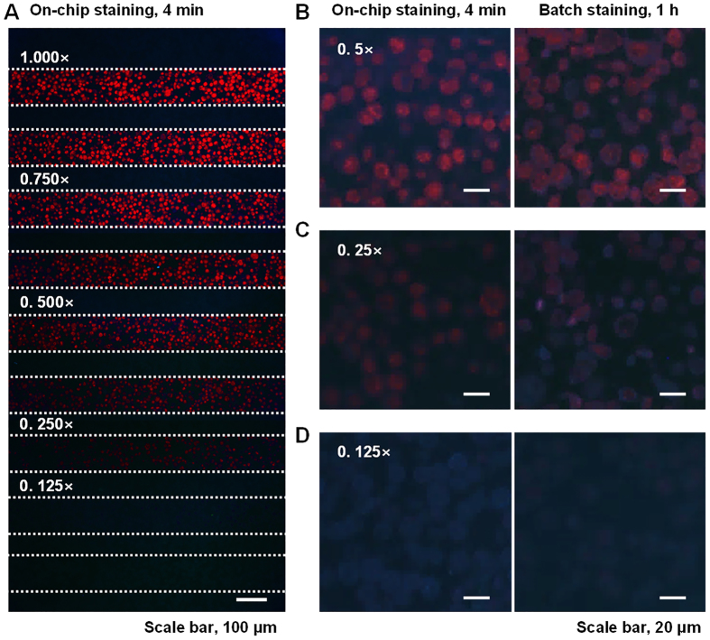 Fluorescence images of QD605s in SKBR3 cell sections labeled with a form of quantum dot-conjugated IgG (QD-IgG). ( A ) Fluorescence images of QD605-conjugated goat anti-rabbit IgG incubated in a SKBR3 cell section using a microfluidic immunostaining system. ( B–D ) Comparison of fluorescence images stained using a microfluidic system (left) and a batch process (right). The incubation results from concentrations of 0.5×, 0.250×, and 0.125×. Red color shows the QD605-labeled cells and blue color comes from the autofluorescence of cell sections caused by the excitation of ultraviolet.