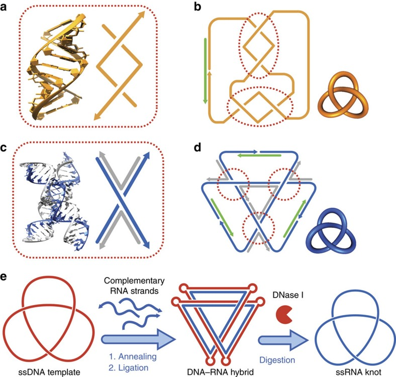 Strategies of constructing ssRNA topological structures. ( a , b ) Seeman's method of using A-form RNA helix to generate ssRNA topological structures 21 . In  a , one turn of an A-form RNA helix is shown with the helical and schematic representations. The two component strands form two negative nodes within this one-turn helix. In  b , a strand of ssRNA (orange) is designed to contain alternating complementary pairing segments to form two one-turn A-form helices, and a trefoil knot is formed after enzymatic ligation aided by a DNA splint (green). However, topological structures constructed in this way contain very strong intrastrand base pairings. ( c , d ) Junction-based method to generate ssRNA topological structures. In  c , a 4WJ is formed with two RNA strands (blue) as the helical strands and two DNA strands (grey) as the crossover strands, and is shown with the helical and schematic representations. The two RNA helical strands generate a node. In  d , the assembly complex for the trefoil knot is formed, where the RNA scaffolds (blue) are threaded into the targeted topology by DNA staples (grey) and linked end to end by DNA splints (green). After ligation and subsequent removal of the DNA staples and splints, a ssRNA knot free of strong intrastrand base pairings is generated. ( e ) The ssDNA trefoil knot can be used as a template for the construction of ssRNA trefoil knot. The ssDNA knot template (red) is pre-prepared and annealed with the complementary RNA strands (blue). After ligation, the DNA–RNA hybrid knot is formed. The ds DNA–RNA hybrid is more rigid than single-stranded structure, the careful design of curvature (by adding bulges) and torsion (by adjusting the length of hybrid helix) is necessary. The hybrid knot can then be subjected to DNase I digestion to obtain the ssRNA knot.