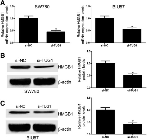 TUG1 downregulation inhibits the HMGB1 expression in bladder cancer cell lines. a The expression of HMGB1 mRNA was detected by qRT-PCR analysis at 24 h after SW780 and BIU87 cells were transfected with si-NC or si-TUG1. b and c The protein level of HMGB1 was examined at 24 h after SW780 and BIU87 cells were transfected with si-NC or si-TUG1. *P