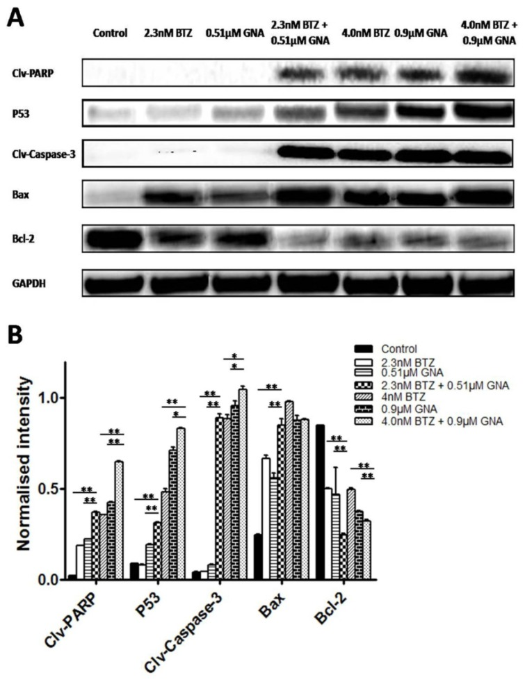 Effects of BTZ, GNA and the combination on apoptosis-related proteins of MM.1S cells. MM.1S cells were treated with DMSO control, BTZ, GNA, or combination of two concentrations, respectively. (A) Western blot analysis of BTZ and GNA-induced PARP, P53, Caspase-3, Bax and Bcl-2 levels in MM.1S for 48h. (B) The normalized intensity of cleaved PARP, P53, cleaved Caspase-3, Bax and Bcl-2 proteins were processed statistically. DMSO, dimethyl sulfoxide. Columns, means for three replicate determinations; bars, s.d. * P