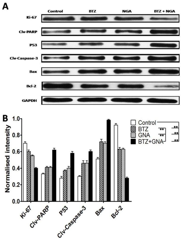 Western blot analysis of BTZ, GNA and the combination on apoptosis-related proteins of tumor tissues. (A) Western blot analysis of Ki-67, PARP cleavage, P53, Caspase-3 cleavage, Bax and Bcl-2. The protein expression levels (relative to GAPDH) were assessed. (B) The normalized intensity of cleaved PARP, P53, cleaved Caspase-3, Bax and Bcl-2 proteins were processed statistically. Columns, means for three replicate determinations; bars, s.d. * P