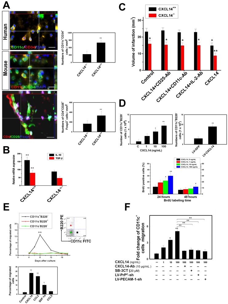 CXCL14 Exerts Immunomodulation via Regulating Immature Dendritic Cell (iDC) and Regulatory T Cells (Treg). ( A ) In the representative 3-D image, some CD11c + CD34 + iDC were observed in the human stroke hemisphere (upper panel). Moreover, increased numbers of CD11c + CD34 + cells were found in the ischemic brain of CXCL14 +/+ mice compared to that of CXCL14 -/- mice (middle panel). Furthermore, significantly increased numbers of CD4 + CD25 + Foxp3 + Treg were found in the CXCL14 +/+ mice compared to those of CXCL14 -/- mice at 5 days after cerebral ischemia (lower panel). ( B ) ELISA showed a significant decrease in the levels of IL-10 and TGF-beta in brain homogenates of CXCL14 -/- mice compared with those of wild type mice. ( C ) Infarct volume was significantly increased in CXCL14 -/- mice compared to that of CXCL14 +/+ mice. Furthermore, infarct volume was larger in CD25-Ab-treated, CD11c-Ab-treated and IL-2-Ab-treated CXCL14 +/+ mice than in saline-treated CXCL14 +/+ mice. ( D ) Overexpression of CXCL14 significantly increased cell proliferation, as shown by trypan blue, which excluded viable cells and the BrdU labeling index. ( E ) The transwell migration assay showed that CXCL14 is highly attracted to CD11c + B220 - cells, but not to CD11c - B220 + cells or to CD11c - B220 - cells. In iDC migration profiles for either chemokine after culturing for 8 days, CD11c + iDC responded to CXCL14 and to CCL2 chemoattraction. ( F ) CD11c + iDC treated with CXCL14 could move across the membrane in a concentration-dependent manner (SDF-1α as a positive control) in the transwell migration assay. In contrast, CXCL14-induced iDC migratory activity could be neutralized by adding the CXCL14-Ab and SB-3CT. LV-PrP C -shRNA or LV-PECAM-1-shRNA transduction also inhibited the CXCL14-induced iDC trafficking. The mean ± SEM is shown. * P
