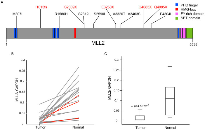 Somatic Mutations and gene expression of MLL2 in NSCLC. (A) Schematic representation of somatic mutations identified in MLL2 shown in the context of the known domain structures. Numbers refer to amino acid residues. Frame-shift and nonsense mutations are shown in red; other missense mutations are shown in black. (B) Pair-wise comparisons of MLL2 expression in NSCLC tumors and adjacent normal tissues. Relative abundance of MLL2 was measured based on the ratio between fluorescence emission intensity values between MLL2 and GAPDH in the same sample obtained by quantitative real-time PCR. Patients with loss-of-function mutations in MLL2 are in red while others are in grey. (C) The distribution of MLL2 expression levels between tumor and normal tissues.
