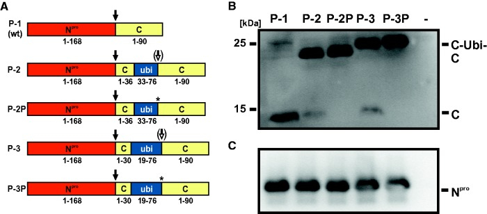 Processing of fusion proteins of recombinants R-1, R-2, and R-3. ( A ) Schematic representation of authentic (P-1, P-2, P-3) and mutated (P-2P, P-3P) fusion proteins transiently expressed in the MVA-T7 system. P-1 encompasses the wt proteins N pro and C, P-2 and P-3 comprise N pro and the C fusion proteins encoded by the recombinant viruses R-2 and R-3, respectively. In P-2P and P-3P, the asterisks mark the serine to proline substitutions directly downstream of the ubiquitin fragments. Black arrows indicate autoproteolytic cleavage mediated by N pro . White arrows (P-2 and P-3) indicate partial processing directly downstream of the ubiquitin fragments. ( B and C ) Western blot analysis. BHK-21 cells were infected with MVA-T7 and transfected with pCITE-N pro -C constructs encoding P-1, P-2, P-2P, P-3, and P-3P, respectively. Nontransfected cells (−) served as negative control. Cells were lysed 20 h posttransfection and analyzed by Western blot using MAb 1F7 (panel B ) and MAb 13B6 (panel C ) to detect C (C-ubi-C) and N pro , respectively.