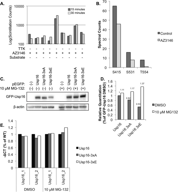 Usp16 is a TTK phosphorylation substrate. (A) In vitro kinase assay measuring TTK dependent phosphorylation by 32 P incorporation measured by liquid scintillation counts. Representative of 2 independent experiments. (B) Exogenously expressed FLAG-Usp16 was immunoprecipitated from DMSO and AZ3146 treated mitotic 293FT cells, digested with trypsin and enriched for phosphopeptides. Phosphorylated residues of Usp16 were identified by mass spectrometry. Spectral counts of representative individual experiments are shown. (C) Immunoblot analysis of 293FT cells transiently transfected with control GFP, GFP-Usp16, GFP-Usp16 3xA (phosphodeficient mutant) or GFP-Usp16 3xE (phosphomimetic mutant) and treated with control DMSO or MG-132. (D) Densitometry of (C). (E) RT-PCR of Usp16 using 2 independent Taqman probes from cells used in (C), normalized to β-actin and represented as percent of WT-Usp16.