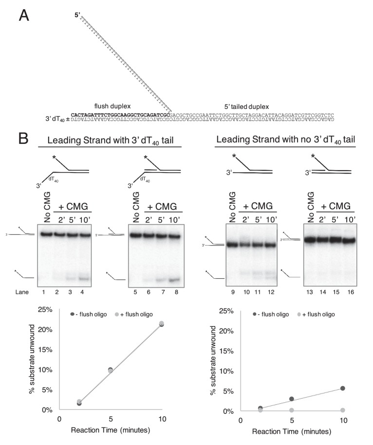 CMG requires a 3' dT 40 /ssDNA tail for loading. . ( A ) Schematic of the substrates used in Figure 2 and in part ( B ) of this Figure. Further details on the oligos used are in Table 1 . The flush duplex oligo is named 'flush duplex LAG'. The 5' tailed oligo is '50duplex LAG'. The leading strand template is either 'Paired duplex LEAD + 3' tail' or 'Paired duplex LEAD no 3' tail'. ( B ) Control experiments to show the requirement for the 3' dT 40 tail in CMG loading. At left are two helicase assays like those described in Figure 2 but using the substrate containing a 3' dT 40 tail with the radiolabel on the 5' tailed duplex. Lanes 1–4 show unwinding in the absence of the flush duplex oligo and lanes 5–8 in the presence of the flush duplex. The % of 5' tailed oligo unwound is quantified in the graph below the gels, showing that the presence of the flush duplex oligo does not affect CMG loading or unwinding. At right is an identical pair of experiments but with a substrate that does not contain the 3' dT 40 tail. Lanes 9–12 and the quantitation in the graph below show that unwinding is greatly reduced in the absence of the 3' tail (compare lanes 9–12 with lanes 1–4), and in the presence of the flush duplex oligo (lanes 13–16) CMG does not load/unwind at all. These experiments support the conclusion of Figure 2 that CMG translocates over flush duplex without unwinding and requires a 3' dT 40 tail for efficient loading. DOI: http://dx.doi.org/10.7554/eLife.23449.004