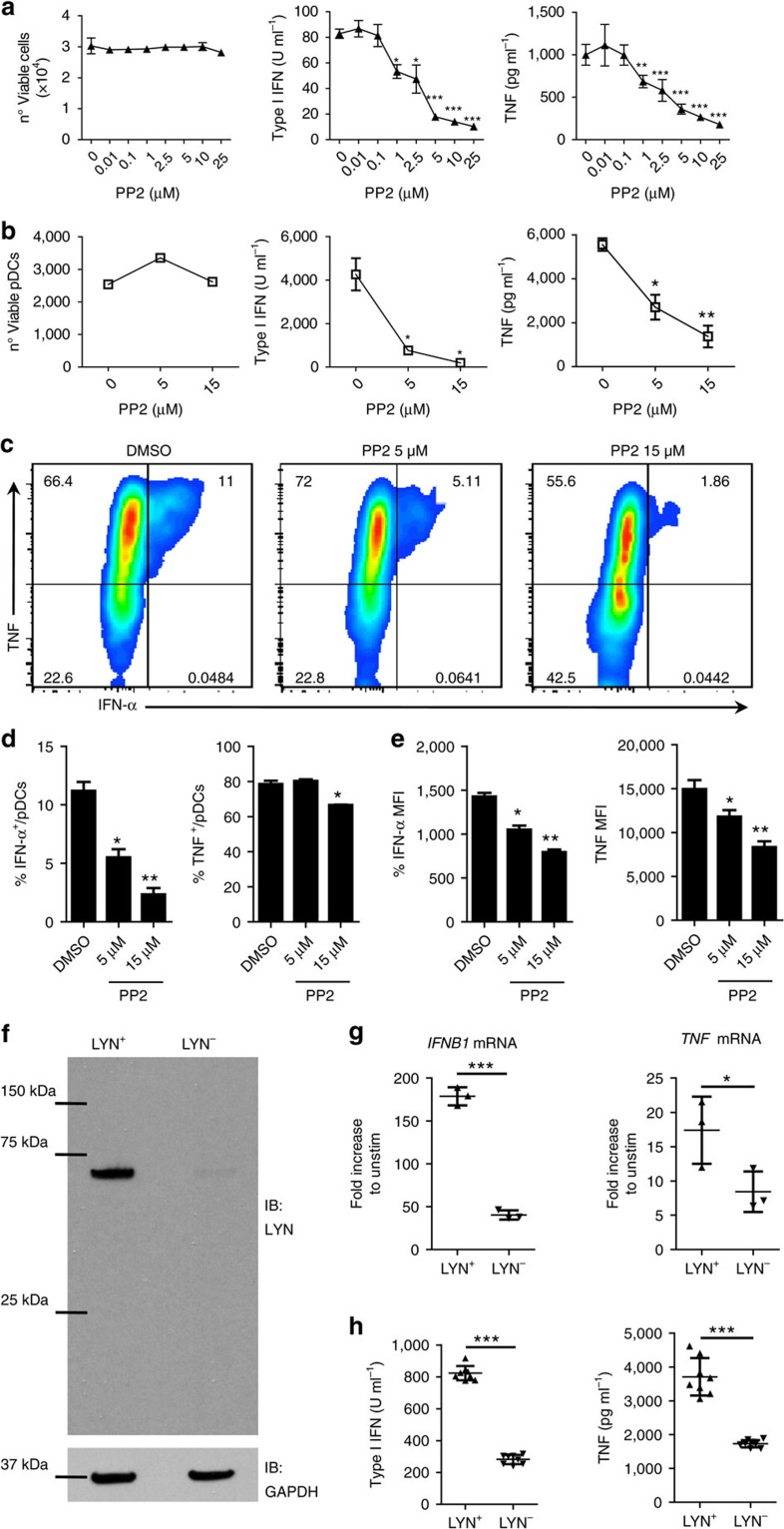 SFKs are critical for human pDC cytokine production. ( a , b ) CAL-1 cells ( a ) or human PBMCs ( b ) were pre-treated for 1 h with PP2 or DMSO control and then stimulated with R848 for 15 h. Viability was assessed by flow cytometry, while type I IFN and TNF protein levels in the supernatant were assessed by bioassay and ELISA, respectively. ( c – e ) Human PBMCs were pre-treated for 1 h with PP2 (5 and 15 μM) or DMSO control and then stimulated with R848 for 6 h and subsequently intracellular stained for TNF and IFN-α. FACS plots show the co-expression of TNF and IFN-α in gated pDCs ( c ). The percentage of pDCs single positive to IFN-α and TNF staining ( d ). MFI of IFN-α and TNF in gated pDCs ( e ). ( f ) LYN and GAPDH protein expression in unmodified CAL-1 cells (LYN + ) and CAL-1 cells ablated for LYN by CRISPR/Cas9 (LYN − ) was determined by immunoblot. ( g , h ) The expression of IFN-β and TNF mRNAs was determined by qPCR ( g ) and the level of protein in the supernatant was quantified by bioassay or ELISA ( h ) in LYN + and LYN − CAL-1 cells after 1 or 15 h stimulation with R848, respectively. In g , the mRNA expression were normalized against GAPDH expression and plotted as mRNA fold increase compared to unstimulated cells. Data are representative of two ( g ) or three ( a , f , h ) independent experiments or four donors processed separately ( b – e ). Graphs depict mean±s.d. of replicates within one representative experiment/donor. Dunnett's multiple comparisons test ( a , b , d , e ) and two-ways Student's t -test ( f , g ) were used for statistical analyses. * P