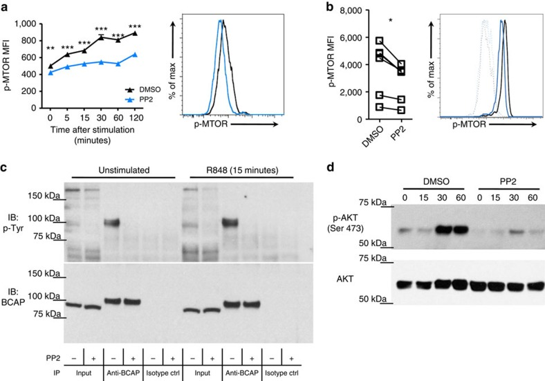SFKs are necessary for mTOR and BCAP phosphorylation in human pDCs. ( a ) CAL-1 cells were pre-treated for 1 h with PP2 (10 μM; blue) or DMSO control (black) before stimulation with R848 for the indicated time periods (minutes). p-MTOR was determined by flow cytometry. Histograms depict the 15 min time point. ( b ) Human PBMCs were pre-treated as in a and stimulated for 15 min with R848. p-MTOR was determined by flow cytometry in gated pDCs. Lines in graph connect the same donor and the histogram depicts a representative donor; dotted lines, unstimulated; solid lines, R848 stimulation. ( c ) CAL-1 cells were pre-treated as in a and then stimulated with R848 for 15 min. Protein immunoprecipitation was performed using anti-BCAP antibody or isotype control antibody and levels of tyrosine phosphorylation (p-Tyr) and BCAP were assessed by immunoblot. ( d ) CAL-1 cells were pre-treated as in a and then stimulated with R848 for the indicated time periods (minutes). p-AKT Ser473 and AKT levels were determined by immunoblot. Data are representative of two ( d ) or three ( a , c ) independent experiments or five donors processed separately ( b ). Graphs depict mean±s.d. of replicates within one representative experiment ( a , c , d ) or individual donors ( b ). Two-way ANOVA ( a ) and two-ways Student's t -test ( b ) were used for statistical analyses. * P