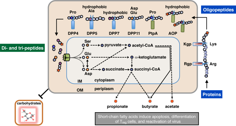Schematic illustration of extracellular oligopeptide metabolism in P. <t>gingivalis</t> . The metabolic pathway of P. gingivalis from the extracellular polypeptides, di- and tri-peptide incorporation, amino acid metabolism, and excretion as short-chain fatty acids, are schematically illustrated [10] , [15] . Amino acids, except for Ser and Thr, are mainly transported as di- and tri-peptides via oligopeptide transporters [10] . Rgp and Kgp are mainly localized on the outer membrane (OM), while DPPs, PtpA, and AOP are located in periplasmic space [23] , [24] , [25] . Scissors indicate peptidases, which cleave peptide bonds at specific positions. Stars represent acylaminoacyl groups at the N-terminus. IM, inner membrane.