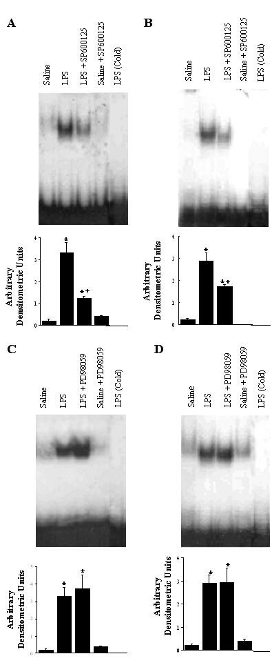 EMSA illustrating DNA-binding activity of NF-κB to the NF-κB motif in lung tissue (A, C), and alveolar macrophages (B, D). The groups represent rats treated as follows: Saline, saline (IT); LPS, LPS (IT); LPS-SP600125, LPS (IT) and a pretreatment with SP600125 (IO), Saline-SP600125, saline (IT) and a pretreatment with SP600125 (IO); LPS-PD98059, LPS (IT) and a pretreatment with PD98059 (IO), Saline-PD98059, saline (IT) and a pretreatment with PD98059 (IO). Animals were sacrificed 4 hours after LPS treatment. Nuclear extracts were prepared in lung tissue and alveolar macrophages (5 × 10 6 alveolar macrophages). Addition of 100 ng of unlabeled cold competitor to the LPS samples successfully competed for NF-κB binding, and eliminated the specific band. Densitometry of NF-κB bands on EMSA is expressed in arbitrary densitometric units. Values are represented as means ± SEM of results from 5 rats in each group. * Significant differences compared with saline, p
