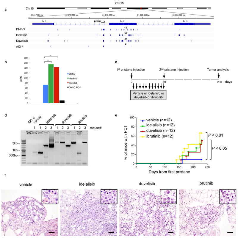 PI3Kδ inhibitors and ibrutinib increase c-myc DSB formation and the incidence of plasma cell (PC) tumor in mice a, Detailed view of the distribution of rearrangements (deletions or inversions) in the c-myc locus in mice treated as above. Numbers of translocation junctions in focal clusters are indicated in bold. b , RPM Frequency of rearrangements (deletions or inversions) in the c-myc locus in GC B cell from mice treated in vivo with the idelalisib or duvelisib. Junctions within ±300 bp of primer region were excluded. Significance is calculated as false discovery rate ( FDR ) by comparing idelalisib or duvelisib to DMSO treated mouse as indicated in the Methods. ** FDR ≤ 0.01. c , Schematic representation of the experimental outline of pristane-induced PCT in mice treated with PI3Kδ inhibitors and ibrutinib. The mice were treated in two independent biological experimental replicates, each consisting of 6 mice per group. d, Direct PCR assay for Igh/c-myc translocation in mice with PC tumors. Translocations from c-myc to the IgHα locus are shown. Translocations for the only mouse in the vehicle group and from three example mice from treated groups are shown. Bands were purified from gels and were sequenced to confirm the Igh/c-myc translocation junction. For gel source data, see Supplementary Figure 1 . e, Development of PC tumor in mice induced with pristane and treated with idelalisib, duvelisib or ibrutinib is plotted over time. The presence of PC tumors was confirmed by histology (n = 12 for each treatment in 2 independent cohorts of 6 mice). P values calculated by Log-rank (Mantel-Cox) test. f , Example histology of PC tumors in mice induced with pristane and treated with the indicated drugs. Magnification 40x; Scale bar = 50μm; Insets: high magnification image of clusters of atypical plasma cells.