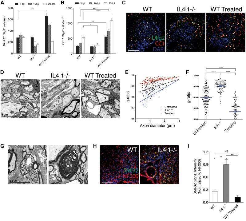 IL4I1 regulates remyelination and preserves axonal integrity. Quantification of ( A ) Nkx2.2 + Olig2 + and ( B ) CC1 + Olig2 + cells per mm 2 in lesions at 5, 10 and 20 dpl in wild-type (WT), Il4i1 − / − and IL4I1-treated mice. ( C ) Immunostaining of Olig2 (green), CC1 (red) and DAPI (blue) in lesions at 10 dpl. Lesions are characterized as the cluster of DAPI + nuclei in the spinal cord ventral funiculous. ( D ) Electron micrographs of lesion at 10 dpl show reduced remyelinated axons in Il4i1 − / − lesions, and increased remyelinated axons in IL4I1 treated lesions compared to wild-type. ( E ) G-ratio analysis of remyelinated axons and corresponding axonal diameter. ( F ) Scatter plot showing the overall g-ratio in the mouse groups. ( G ) Electron micrographs of lesions in Il4i1 − / − mice showing a dystrophic axon and an axon that has undergone Wallerian degeneration. ( H ) Immunostaining of SMI-32 (green), NF200 (red) and DAPI (blue) in spinal cord lesions at 10 dpl. Axonal dystrophy is detected by SMI-32 + NF200 + co-labelling. ( I ) Graph of relative SMI-32 signal intensity normalized to NF200. For cell counts and fluorescence intensity, n = 3–5 mice per group were used and n = 3 ×10 magnification images per mouse were analysed. Scale bar = 100 μm for immunofluorescence images. * P