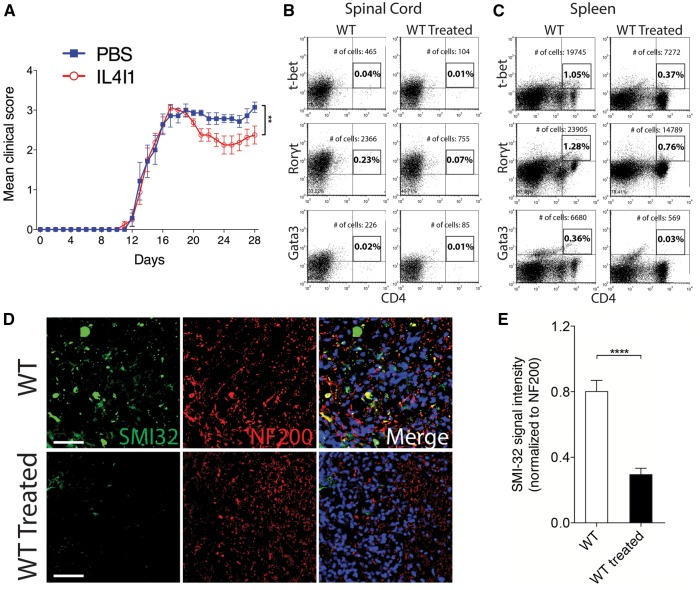 IL4I1 reverses clinical severity and preserves axons in mice with EAE. ( A ) Clinical scores of PBS-treated ( n = 8) and IL4I1-treated ( n = 10) mice for 28 days after EAE induction. Flow cytometry analysis of ( B ) spinal cord and ( C ) spleen from untreated and IL4I1 treated mice at 35 days after EAE induction showing the percentage and total number of gated T-bet + CD4 + , Rorγt + CD4 + and Gata3 + CD4 + cells (samples from n = 2 mice were combined for each group and analysed). ( D ) Immunostaining of SMI-32 (green), NF200 (red) and DAPI (blue) in spinal cord of untreated and IL4I1 treated mice with EAE at 35 days after EAE induction. Axonal dystrophy is detected by SMI-32 + NF200 + co-labelling. ( E ) SMI-32 signal intensity normalized to NF200 in untreated, and IL4I1-treated mice showing reduced axonal dystrophy in IL4I1 treated mice ( n = 3 per group). Scale bar = 100 μm. * P