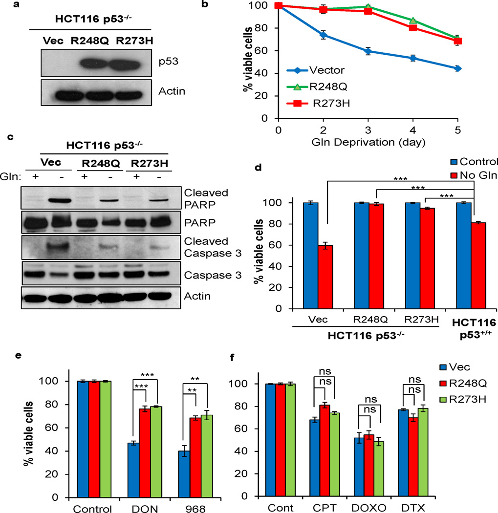 Expression of mutp53 promotes cell survival upon glutamine deprivation and glutaminase inhibitor treatment (a) Mutp53 R248Q or R273H were stably expressed in p53 −/− HCT116 cells. Protein levels were assessed by Western blot using antibodies against p53 (DO-1) and actin. (b) HCT116 p53 −/− cells expressing an empty vector or mutp53 protein were cultured in either Gln free or complete medium for the indicated time points. Cell viability was determined by Trypan blue exclusion and normalized to cells cultured in complete medium. Data represent mean ± S.E.M. of three independent experiments. (c) HCT116 p53 −/− cells expressing an empty vector or mutp53 protein were cultured in Gln free medium or complete medium for 4 days. Lysate was extracted to perform Western blot analysis using antibodies as indicated. (d) HCT116 p53 −/− cells expressing R248Q, R273H, or empty vector and HCT116 p53 +/+ cells were cultured in Gln free medium or complete medium for three days. (e) HCT116 p53 −/− cells expressing R248Q, R273H, or empty vector were treated with 50µM L-DON for four days, or 40µM Compound 968 for five days. (f) HCT116 p53 −/− cells expressing R248Q, R273H, or empty vector were treated with 5µM camptothecin (CPT) for three days, 10µM doxorubicin (DOXO) for four days, or 10 nM docetaxel (DTX) for two days. (d–f) Cell viability was determined by Trypan blue exclusion and normalized to cells cultured in complete medium. Data represent mean ± S.E.M. of three independent experiments (** P