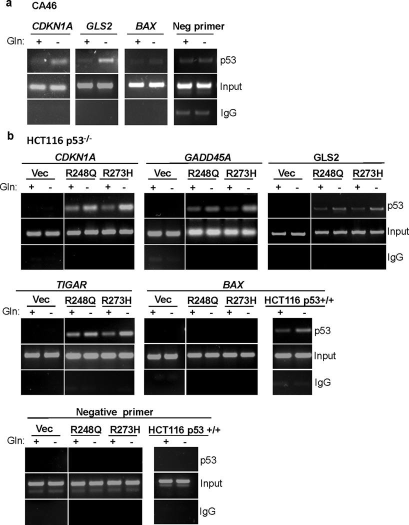 Mutp53 directly binds to the promoter of p53 target genes upon glutamine deprivation (a) CA46 cells (R248Q) were cultured in complete or Gln free medium for 16 hrs. ChIP analysis was performed to determine p53 binding to the promoter of p53 target genes in response to Gln deprivation. (b) HCT116 p53 +/+ cells or HCT116 p53 −/− cells expressing R248Q, R273H, or vector control were cultured in complete or Gln free medium for 16 hrs. ChIP analysis was performed to determine p53 binding to the promoter of p53 target genes. DNA-protein complexes were pulled down using total p53 antibody (DO-1) or isotype matched IgG. All p53 binding sites were assessed by PCR. PCR products were separated using agarose electrophoresis.
