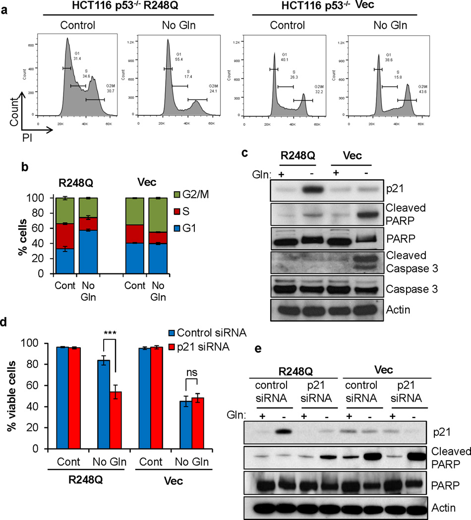 Mutp53 promotes cell survival upon glutamine deprivation through p21 induction (a,b) HCT116 p53 −/− cells expressing mutp53 (R248Q) or empty vector were cultured in complete or Gln free medium for 24 hrs. PI staining followed by Flow Cytometry was performed to assess cell cycle profile. Representative graphs of three independent experiments are shown. Data represent the mean ± S.D. (c) HCT116 p53 −/− cells expressing mutp53 R248Q or empty vector were cultured in complete or Gln free medium for 24 hours. Western blots were performed using antibodies as indicated. (d) p21 was transiently knocked down in HCT116 p53 −/− cells expressing mutp53 R248Q or empty vector using siRNA (20nM). 48 hrs after the siRNA transfection, cells were cultured in complete or Gln free medium for four days. Cell viability was determined by Trypan blue exclusion. Data represent the mean ± S.D. of four independent experiments, (*** P ≤.001, Student's t-test). (e) Western blot was performed using antibodies as indicated.