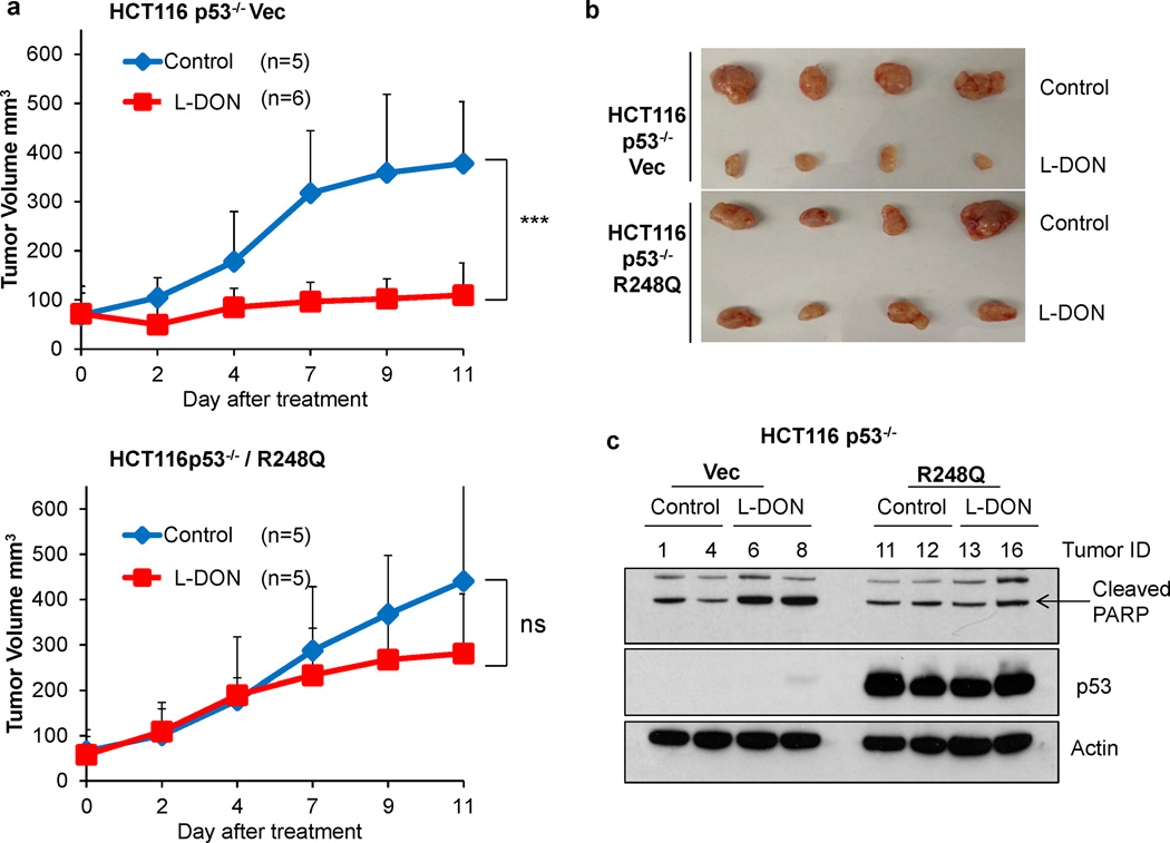 Tumors expressing mutant p53 are more resistant to glutaminase inhibitor treatment in vivo (a,b) Athymic Nude mice at 7 weeks old were injected with HCT116 p53 −/− cells on the left flank. HCT116 p53 −/− cells expressing mutp53 R248Q were injected on the right flank. Once the tumor size reached an average of 60 mm 3 , the mice were treated with 15 mg/kg of L-DON every other day by i.p. injection. Tumor size was measured over time. Data represent the mean ± S.D. (n=5 or 6 tumors as indicated), *** P ≤.001, Student's t-test. (c) Tumors with L-DON or vehicle treatment were harvested at day 11. Western blot was performed using the indicated antibodies.