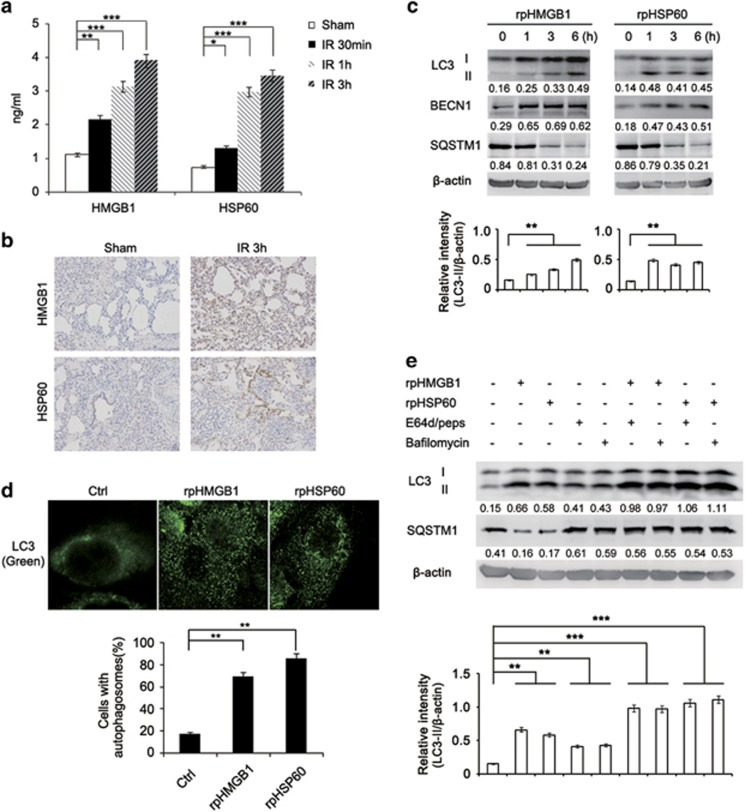 DAMPs are involved in lung I/R injury-triggered autophagy in alveolar macrophages of minipigs. ( a ) ELISA of HMGB1 and HSP60 production in the BALF of the sham group or minipigs subjected to lung I/R as indicated ( n =3). ( b ) Immunohistochemical staining of HMGB1 and HSP60 in left lung tissues of the sham group or minipigs subjected to lung I/R as indicated. ( c ) Immunoblotting analysis of LC3, BECN1, SQSTM1 and β -actin (as a loading control) in lysates of alveolar macrophages treated with rpHMGB1 (1 μ g/ml) or rpHSP60 (1 μ g/ml) for the indicated periods. ( d ) Immunofluorescence analysis of LC3 in alveolar macrophages stimulated with rpHMGB1 (1 μ g/ml) or rpHSP60 (1 μ g/ml) for 3 h. Original magnification, × 630. Quantification of cells with autophagosomes is also shown. ( e ) Immunoblotting analysis of LC3, SQSTM1 and β -actin (as a loading control) in lysates of alveolar macrophages with or without treatment with E64d (15 μ g/ml), Pepstatin A (15 μ g/ml) or Bafilomycin A 1 (30 nM) before stimulation by rpHMGB1 (1 μ g/ml) or rpHSP60 (1 μ g/ml) for 3 h. Values below lanes represent the relative intensities of the corresponding proteins (LC3-II, BECN1 and SQSTM1) to β -actin in the same lane. The relative band intensities of LC3-II/ β -actin were calculated from three independent experiments and shown as mean±S.E.M. Data are mean±S.E.M. ( a ) or representative ( b – e ), of three individual experiments. * P