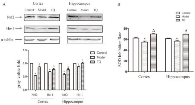 TQ increased Nrf2, HO-1 and SOD inhibition rate in the cortex and hippocampus of SE rats. (A) Protein extracted from hippocampal and cortical tissues was assayed by western blotting. Nrf2, HO-1 expression in SE rat brains was significantly lower than in control group rats. TQ significantly downregulated the expression of Nrf2 and HO-1. (B) The inhibition rate of SOD. * Model group vs. control group; ΔTQ group vs. model group, p
