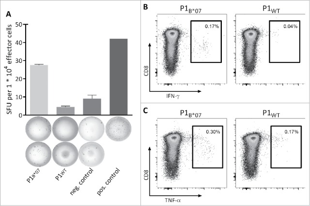 Functionality and specificity of MYD88 L265P -specific T cells. Functionality and specificity of MYD88 L265P -specific CD8 + T cells were analyzed by (A) IFNγ ELISPOT assay or (B, C) intracellular cytokine staining. Both assays showed increased production of IFNγ or TNFα after stimulation with the mutation-derived peptide (P1 B*07 ) in comparison with the corresponding WT peptide (P1 WT ). Representative examples of two different donors are shown. The frequency of P1 B*07 -specific CD8 + T cell populations was 2.69% (A) and 0.40% (B and C), respectively, as detected by tetramer staining (not shown). Error bars indicate ± SEM of two independent replicates. Abbreviations: SFU, spot forming unit; neg., negative; pos., positive; SEM, standard error of the mean.