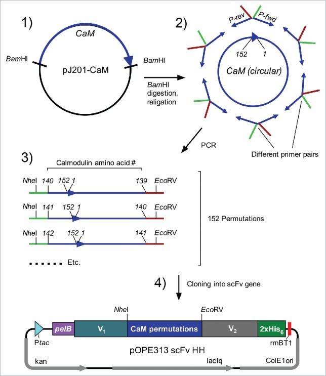 Cloning of circularly permutated Calmodulin variants. (1) Excision of gene encoding for calmodulin (CaM) with Bam HI from transfer vector pJ201-CaM. (2) Circularisation of linear gene with T4 DNA Ligase and amplification of permutated variants by PCR with appropriate oligonucleotide pairs. (3) Restriction of amplified CaM-variants with Nhe I and Eco RV and subsequent cloning into target vector (4) encoding for scFv. Abbreviations, P-rev: reverse-oligonucleotide with Eco RV-overhang; P-fwd: forward-oligonucleotide with Nhe I-overhang. Ptac: tac-promoter; PelB: signal peptide (PhoA was used in case of anti-CD20 scFv); V 1 / V 2 : heavy or light chain variable domain (V 1 = VH and V 2 = VL in anti-CD4, anti-CD14 and anti-biotin scFv; V 1 = VL and V 2 = VH in anti-CD20 and anti-FITC scFv); Nhe I/ Eco RV: restriction sites; 2xHis 6 : histidine-tag; rrnB T1: transcription terminator; Col E1 ori: origin of replication; laqIq: laqIq-promoter; kan: kanamycin resistance; CD: cluster of differentiation; FITC: fluorescein isothiocyanate.