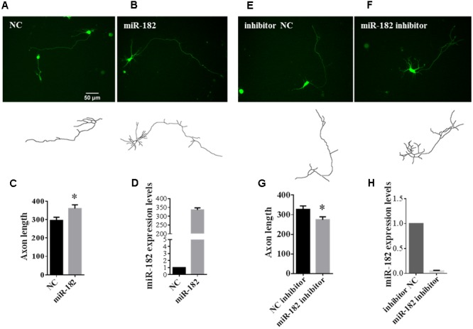 MiR-182 promotes axon outgrowth. (A,B) A schematic diagram showing scramble microRNA and miR-182 mimics plus GFP -encoding plasmid that were transfected into cortical neurons at 1 DIV and imaged at 3 DIV. (C) Quantification of axon length. Data were presented as mean ± SEM. ∗ p