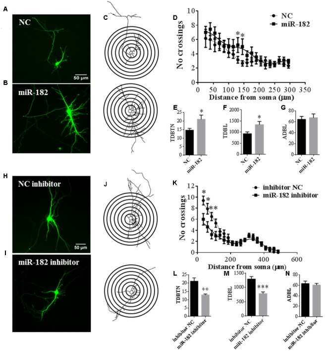 MiR-182 promotes dendrite branching out. (A,B) Cortical neurons were transfected with scramble mimics and miR-182 mimics (60 nM) at 5 DIV. After 48 h, neurons were harvested and images were recorded. A representative image is shown each for neurons transfected with scramble microRNA mimics and miR-182 mimics. (C) Representative picture of the Sholl analysis. (D) Quantitative results of the number of dendrite process intersections by Sholl analysis. MiR-182 increased dendritic branching at the distance of 130 and 145 μm from the soma. One-way ANOVA, Tukey's post-test ( ∗ p
