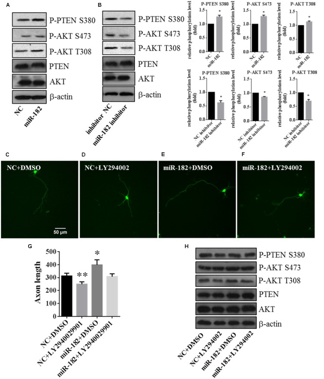PTEN/AKT pathway is involved in regulating axon outgrowth. (A) Cellular fractions overexpressing miR-182 were analyzed by western blot using antibodies against P-AKT S473, P-AKT T308, AKT, PTEN, and P-PTEN S380. β-actin was used as the loading control, and the data represented the results of at least three different experiments. (B) Phosphorylation of AKT and PTEN was analyzed when miR-182 was downregulated. (C–F) Representative cortical neurons transfected with microRNA scramble plus DMSO, microRNA scramble plus LY294002, miR-182 plus DMSO and miR-182 plus LY294002. (G) Quantification of axon length ( ∗ p