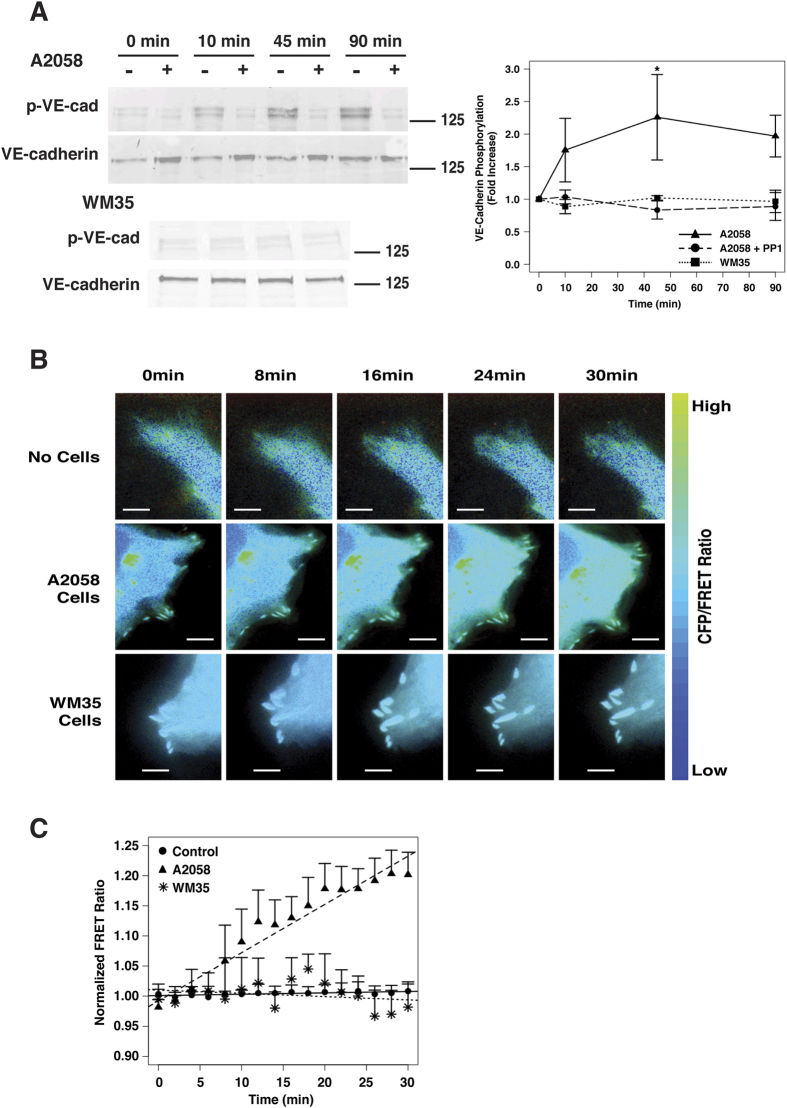 Metastatic melanoma cells induce VE-cadherin phosphorylation via Src activation. ( A ) Western blot and densitometric analysis of total and phosphorylated VE-cadherin in endothelial cells in co-culture with either A2058 or WM35 melanoma cells. Endothelial cells were either left untreated or pre-treated with the Src inhibitor PP1 prior to co-culture with melanoma cells. ( B ) Time-lapse images of endothelial cells expressing the Src FRET biosensor stimulated with either A2058 metastatic melanoma cells WM35 non-metastatic melanoma cells, or media only. Images are pseudocolored showing CFP/FRET ratio. Scale bars represent 5 μm. ( C ) Quantification of CFP/FRET ratio normalized to background signal (before stimulation) for each time-lapse image set and then normalized to negative control. Plot represent mean +/−SEM (n = 6).