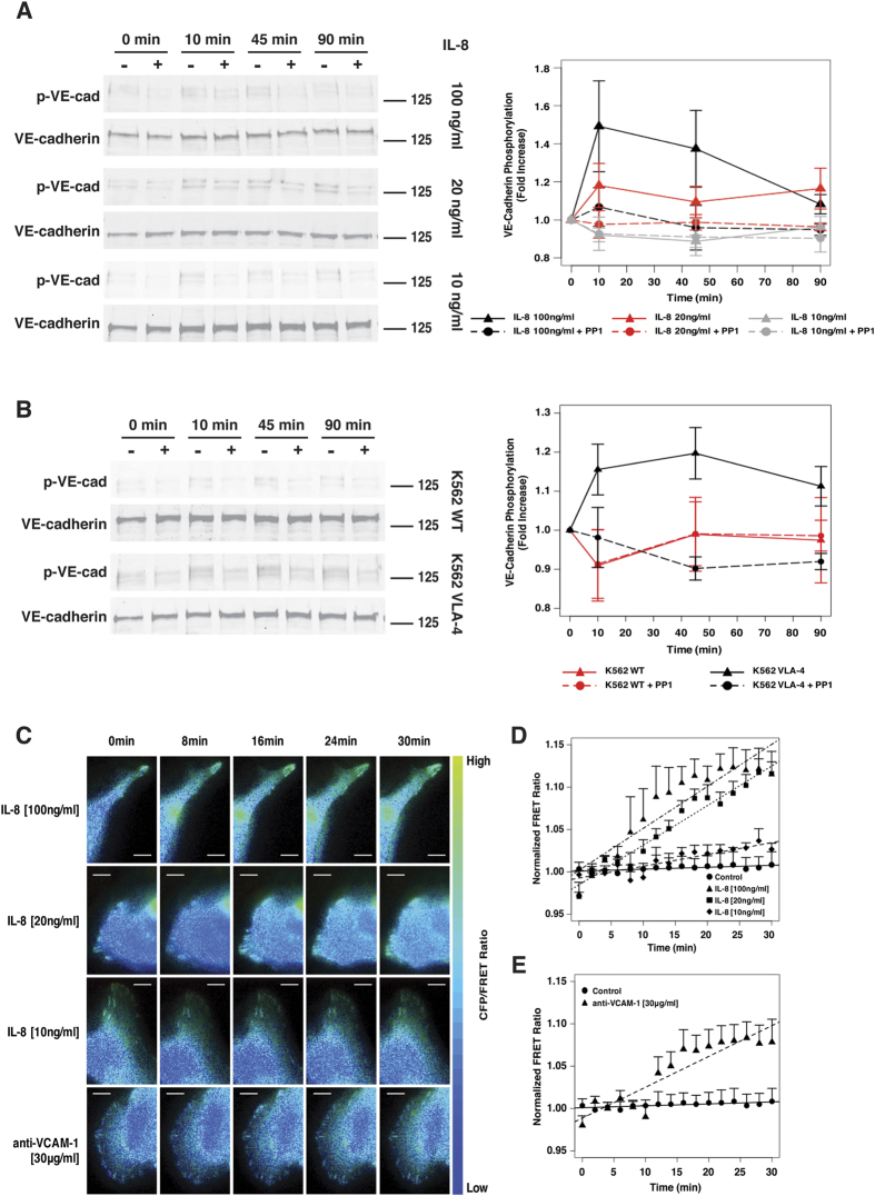 Soluble and receptor-ligand interactions activate Src in endothelial cells resulting in VE-cadherin phosphorylation. ( A ) Western blot and densitometric analysis of total and phosphorylated VE-cadherin induced by IL-8 [100, 20 or 10 ng/ml] after 0, 10, 45 and 90 min. ( B ) Western blot and densitometric analysis of total and phosphorylated VE-cadherin induced by K562-WT or K562-VLA-4 cells after 0, 10, 45 and 90 min. ( C ) Time-lapse images of endothelial cells expressing the Src FRET biosensor stimulated with different concentrations of IL-8 [100, 20 or 10 ng/ml] or with anti-VCAM-1 antibody [30 μg/ml]. Images are pseudocolored showing CFP/FRET ratio (Bars represent 5 μm). ( D,E ) Quantification of CFP/FRET ratio normalized to background signal (before stimulation) for each time-lapse image set and then normalized to negative control. Plots represent mean +/−SEM (n = 6).