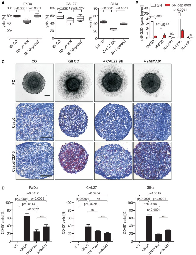 Natural killer (NK) cell cytotoxicity and infiltration toward tumor spheroids is inhibited by shed NKG2DLs (sNKG2DLs) . (A) NK cells incubated with non-/sNKG2DL-depleted CAL27 supernatant (SN) or medium (kill CO) prior to co-incubation with FaDu, CAL27, or SiHa tumor spheroids (E:T ratio 5:1, 48 h). Tumor spheroid lysis was calculated by analysis of live (CFSE + /SytoxBlue − ) and dead (CFSE + /SytoxBlue + ) tumor cells. Bars correspond to mean ± SEM of eight tumor spheroids. (B) sNKG2DL levels of non-/depleted CAL27 SN analyzed by ELISA. Data are shown as mean ± SEM of duplicates. (C) NK cells treated with CAL27 SN, sMICA01, or untreated (kill CO) prior to coculturing with FaDu cells for 48 h. Representative phase-contrast pictures at 50× magnification are shown (size bar = 100 µm). Cryosections of spheroids were stained for NK cells (anti-CD45 antibody, red) and apoptosis (anti-active caspase-3 antibody, brown). Representative pictures are shown at 200× magnification (size bar = 200 µm). (D) Percentage of infiltrated NK cells in FaDu, CAL27, or SiHa tumor spheroids. Bars correspond to mean ± SEM of 10 vision fields. Statistical significance was assessed by one-way analysis of variance (A) and unpaired, two-tailed Student's t -test (D) . ns, non-significant.