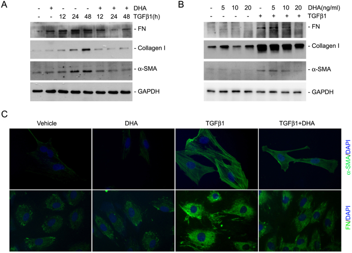 DHA inhibits fibroblast activation induced by TGFβ1. ( A ) Western blotting analysis showing that DHA could time-dependently inhibit the expression of FN, α-SMA and type I collagen stimulated by TGFβ1 treatment. ( B ) Western blotting analysis showing that DHA could dose-dependently inhibit TGFβ1-induced FN, type I collagen and α-SMA expression. ( C ) Representative micrographs showing the immune-staining for FN and α-SMA in NRK-49F cells.