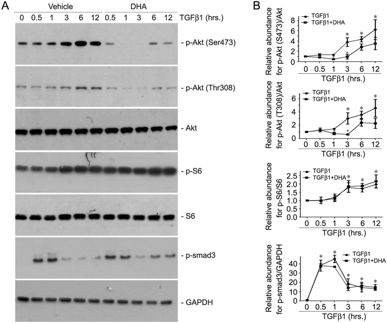 DHA inhibits TGFβ1-stimulated Akt phosphorylation in NRK-49F cells. Cultured NRK-49F cells were serum-starved for 24 h, then administrated with 20 uM DHA for 30 min, followed by TGFβ1 (2 ng/ml) treatment for various time points as indicated. ( A ) Western blotting analyses showing that DHA treatment could decrease the abundance of p-Akt (Ser473) and p-Akt (Thr308) but not p-S6 or p-Smad3 induced by TGFβ1 in NRK-49F cells. ( B ) Quantitative analysis for p-Akt (Ser473), p-Akt (Thr308), p-S6 and p-Smad3. *p