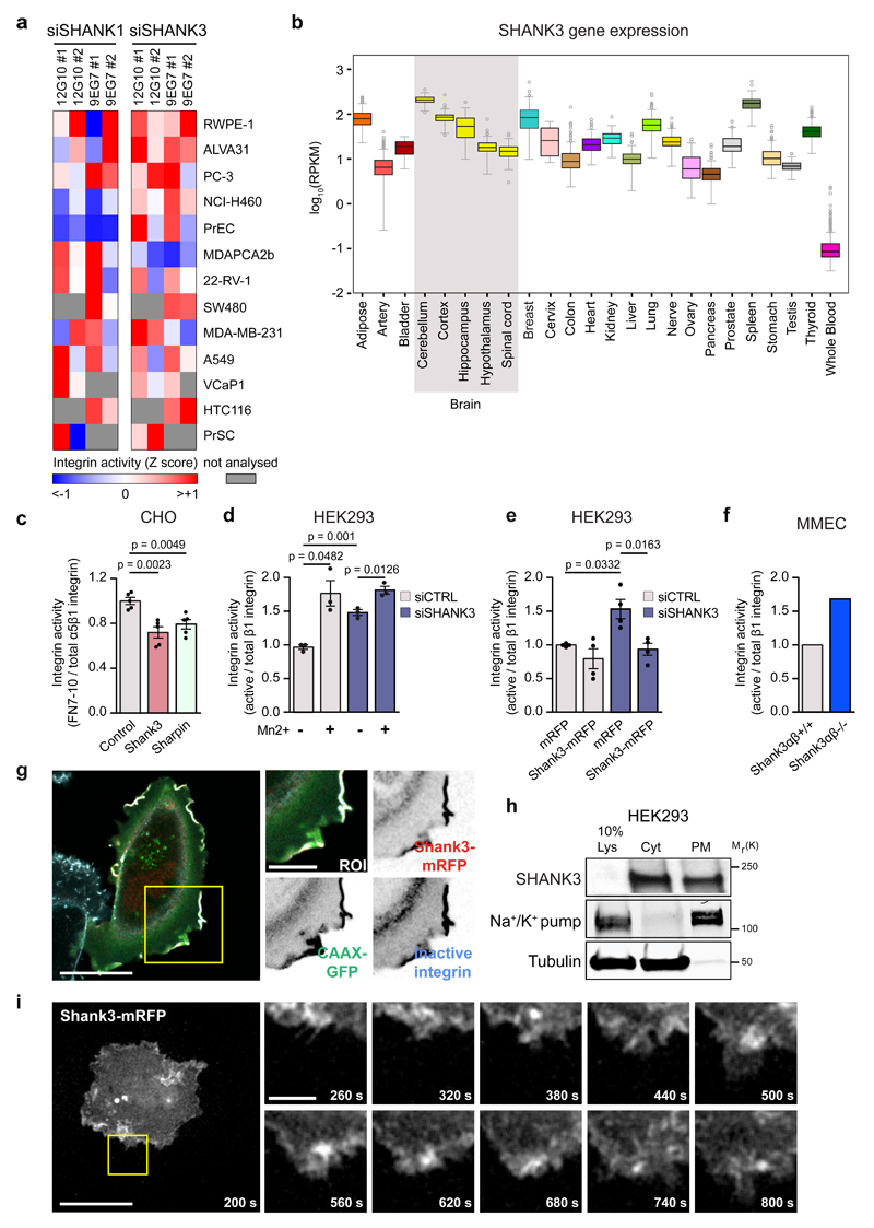 SHANK1 and SHANK3 inhibit β1-integrin activation a , Hierarchical clustering of β1-integrin activity (9EG7 and/or 12G10 antibodies; red: increased and blue: decreased compared to control-silenced cells (Z-score)) in 13 human cell lines upon SHANK1 or SHANK3 silencing with two independent siRNAs (#1 or #2). Results taken from a high-density cell-spot microarray. b , SHANK3 gene expression (log 10 RPKM: Reads Per Kilobase of transcript per Million mapped reads) in human tissues analysed using the publicly available GTEx portal (Grey region: brain tissues). c-e , Flow cytometric (FACS) analysis of integrin activity in the indicated conditions. c , Quantification shows reduced active cell-surface integrin (FN 7-10 binding) relative to total cell-surface α5β1-integrin (PB1 antibody) in Shank3-mRFP- or SHARPIN-GFP-expressing cells compared to mRFP/GFP cells. d , SHANK3 -silencing triggers β1-integrin activation (active β1-integrin: 9EG7 antibody; total β1-integrin: P5D2) similarly to Mn 2+ . e , Shank3-mRFP re-expression abrogates integrin activation induced by SHANK3 silencing. Data represent mean ± SEM (n = 5 (c), 3 (d), 4 (e) independent experiments; 5000 (mRFP- or GFP-positive cells) or 10000 cells ( SHANK 3-silenced) per experiment). f , FACS analysis (active β1-integrin: 9EG7 antibody; total β1-integrin: MAB1997) in MMECs isolated from Shank3αβ −/− mice compared to Shank3αβ +/+ (mean of 2 independent experiments; cells pooled from three mice per experiment). g , Shank3-mRFP-expressing MDA-MB-231 cells plated on fibronectin-collagen demonstrate SHANK3 localization with inactive β1-integrin (MAB13) and membrane marker CAAX-GFP in membrane ruffles. Shown is a representative confocal slice (middle plane). ROI: region of interest. Scale bar = 20 μm (original image) and 10 µm (ROI). h , HEK293 subcellular fractions. Cyt: cytoplasmic; PM: plasma membrane; Na + /K + pump: PM marker; tubulin: Cyt marker; 10 % Lys: 10 % of total lysate. i , Shank3-mRFP-expressing MDA-MB-231 c