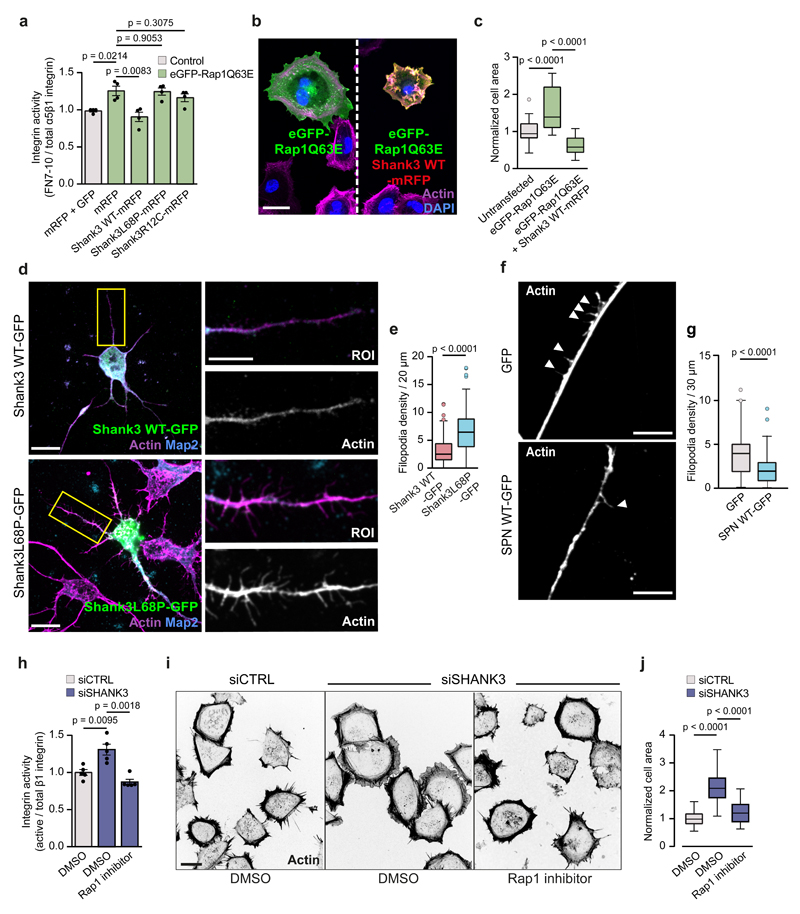 SHANK3 regulates integrin activation and cell spreading by a Rap1/Ras-dependent mechanism a , FACS analysis shows that SHANK3 WT-mRFP, but not SHANK3 mutant, overexpression prevents Rap1Q63E-mediated β1-integrin activation in HEK293 cells. Data represent mean ± SEM relative to mRFP and GFP expressing cells (n = 4 independent experiments; 5000 mRFP/GFP-positive cells analysed per experiment). b , c , Representative confocal images (b) and quantification (c) of spreading MDA-MB-231 cells transfected with GFP-Rap1Q63E alone or together with SHANK3 WT-mRFP. Staining: F-actin and DAPI (cell nuclei). Middle plane confocal image is shown. Scale bar: 10 μm. Tukey box plots represent median cell area relative to untransfected cells (n = 26, 21, 27 cells from left to right from three independent experiments). d,e , Representative confocal images (d) and quantification (e) of filopodia (indicated by arrowheads) in rat hippocampal neurons plated on laminin. Staining: F-actin and Map2 (neurite marker). Tukey box plots are shown (n = 176 (WT), 120 (L68P) from two independent experiments). Scale bar = 20 μm (original image) and 10 µm (ROI). f,g , Representative confocal images (f) and quantification (g) of filopodia in SK-N-BE-2 neuroblastoma cells plated on laminin and differentiated with retinoid acid (10 µM, three days). Shank3 SPN WT-GFP overexpression reduces filopodia density in neurites. Tukey box plots are shown (n = 76 (GFP), 62 (WT), three independent experiments). Scale bar = 20 μm. h , FACS analysis of β1-integrin activity in SHANK3- silenced HEK293 cells treated with a Rap1 inhibitor (10 μM, 1 h). (f) Data are mean ± SEM (n = 5 independent experiments; 10000 cells per experiment). i,j , Representative images (i) and Image J quantification (j) of cell area in SHANK3- silenced HEK293 cells ± Rap1 inhibitor (10 µM, 1 h). Cells were adhering on a fibronectin-collagen matrix (15 min). Middle plane confocal image is shown. Scale bar = 10 μm. Data are represented by Tukey bo