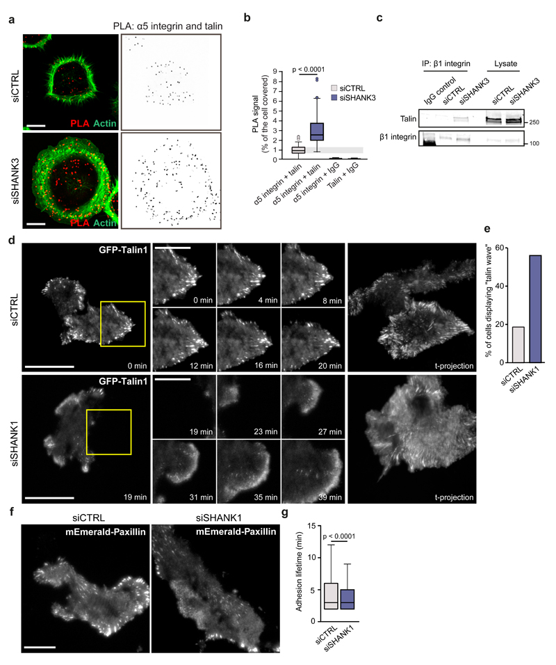 """SHANK1 and SHANK3 sequester active Rap1 to inhibit RIAM/talin-dependent integrin activation and alter adhesion dynamics a,b , Representative PLA signal (red dots) (a) and quantification of the distribution of the PLA signal relative to the total cell area (F-actin) (b) revealing more co-localization between talin and α5-integrin following SHANK3 silencing in HEK293 cells. Data are displayed as Tukey box plots and expressed relative to control-silenced cells (n = 72 cells from three independent experiments). c , β1-integrin (P5D2) immunoprecipitation showing enhanced interaction between β1-integrin and talin following SHANK3 silencing in HEK293 cells (representative blot from four independent experiments is shown). d,e , MDA-MB-231 cells transiently expressing GFP-Talin1 were plated on fibronectin-collagen and imaged live using a TIRF microscope (1 picture every 1 min for more than 3 h; scale bar = 20 μm (original image) and 10 µm (ROI)) (d). The percentage of cells displaying a """"talin wave"""" was then counted (three biological repeats; 84 siCTRL and 86 siSHANK1 movies analysed) (e). f,g , MDA-MB-231 cells transiently expressing mEmerald-Paxillin were plated on fibronectin-collagen and imaged live using a TIRF microscope (1 picture every 1 min for more than 3 h; scale bar = 20 μm) (f). Focal adhesion lifetime was analysed using the focal adhesion analysis server (see methods ) (two biological repeats; over 33 movies per condition analysed; n = 97817 siCTRL and 164092 siSHANK1 adhesions analysed) (g). Tukey box plots represent median and 25 th and 75 th percentiles (interquartile range); points displayed as outliers if 1.5 times above or below the interquartile range; outliers are represented by dots. Statistical analysis: Student's t-test. Unprocessed original scans of blots are shown in Supplementary Fig 8 ."""