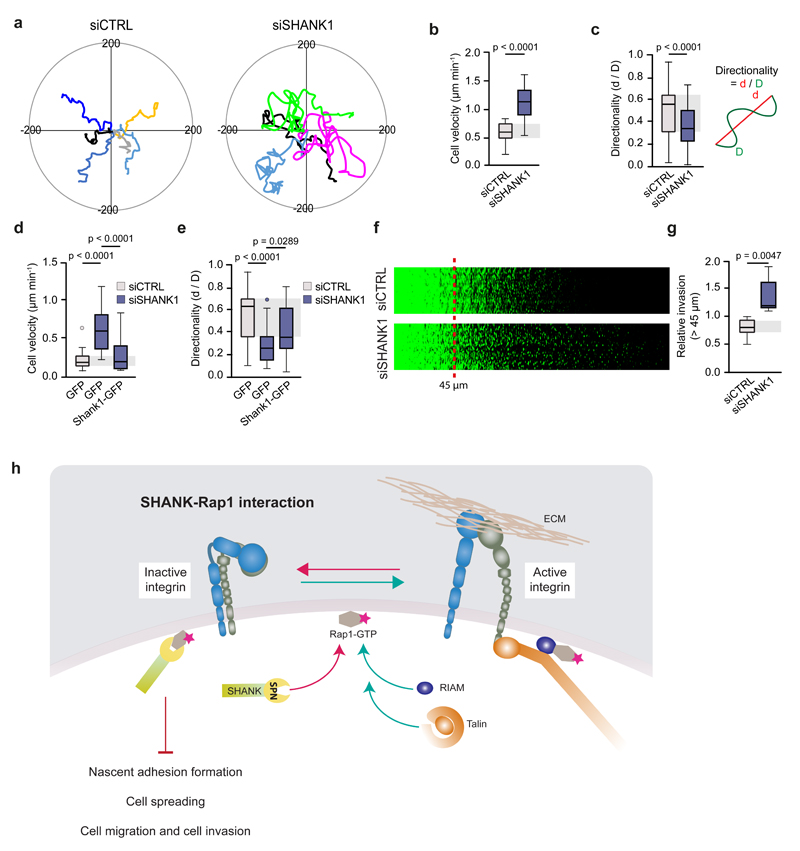 SHANK1 and SHANK3 regulate cell migration and invasion a-e , MDA-MB-231 cell migration on a fibronectin-collagen matrix recorded over 24 h by time-lapse imaging showing that SHANK1 -silenced cells migrate faster and more randomly than control-silenced cells (a-c). Re-expression of Shank1-GFP in SHANK1 -silenced cells rescued defects observed in cells migration (d, e). Representative cell tracks over 10 h (a) and quantification of the migration speed (b, d) and directionality (c, e) over 24 h are shown. Data were analysed using the Manual Tracking plugin (ImageJ) and are displayed as Tukey box plots (n = 36 (siCtrl) and 37 (siSHANK1) from three independent experiments (b and c); n = 36, 29, 28 from left to right from three independent experiments (d and e)). f , g , Inverted invasion assay showing increased MDA-MB-231 cell invasion upon SHANK1 silencing. Invasion in collagen plugs supplemented with fibronectin was visualized using a confocal microscope by imaging serial optical sections at 15 µm intervals. Individual confocal images are shown in sequence with increasing penetrance from left to right (f). Invasion was quantified using ImageJ by measuring the fluorescence intensity of cells invading 45 µm or more and expressing this as a ratio of the fluorescence intensity of all cells within the plug. Data are presented as Tukey box plots (g) (n = 6 means from three independent experiments). h , Schematic representation of SHANK-Rap1–dependent integrin inactivation regulating cell adhesion, spreading, migration and invasion. Tukey box plots represent median and 25 th and 75 th percentiles (interquartile range); points displayed as outliers if 1.5 times above or below the interquartile range; outliers are represented by dots. Statistical analysis: Student's t-test.