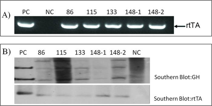 Identification of F0 transgenic cloned pigs. A) Detection of the rtTA gene in genomic DNA from blood samples of the 5 cloned pigs (lanes 4–8) and a non-transgenic pig (lane 2). Lane PC, using a pTTGH DNA fragment as a template; lane NC, using genomic DNA from non-transgenic pigs as a template. B) Transgenic pigs were identified using Southern blot and a Dig-labeled GH probe was used to hybridize the genomic DNA from ear tip tissue of transgenic pigs. After digestion with Eco RI, the endogenous GH (pGH1 in B) band and part of the pTTGH fragment (pGH2 in B) were detected in transgenic pigs. rtTA was also detected. The blots have been cropped to focus on the bands of interest. See Supplementary Fig. S4-5 for full-length gels.