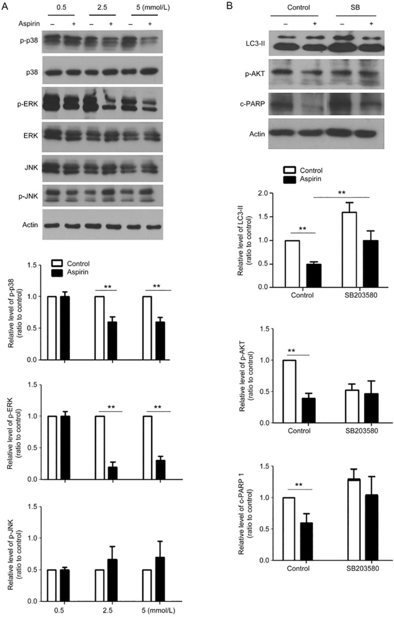 <t>p38</t> <t>MAPK</t> induced an autophagy-dependent pathway in ASA-regulated CF proliferation. (A) CFs exposed to hypoxia were treated with doses of ASA at 0.5, 2.5, and 5 mmol/L for 12 h, and then the changes of phosphorylated p38, ERK, JNK were detected by Western blot. (B) Cardiac fibroblasts were pre-treated with the p38 inhibitor SB203580 (10 μmol/L) for 1 h and were then treated with 2.5 mmol/L ASA for 12 h. Western blot results showed the changes of LC3-II, phosphorylated Akt and cleaved PARP 1. Mean±SEM. n =3, ** P