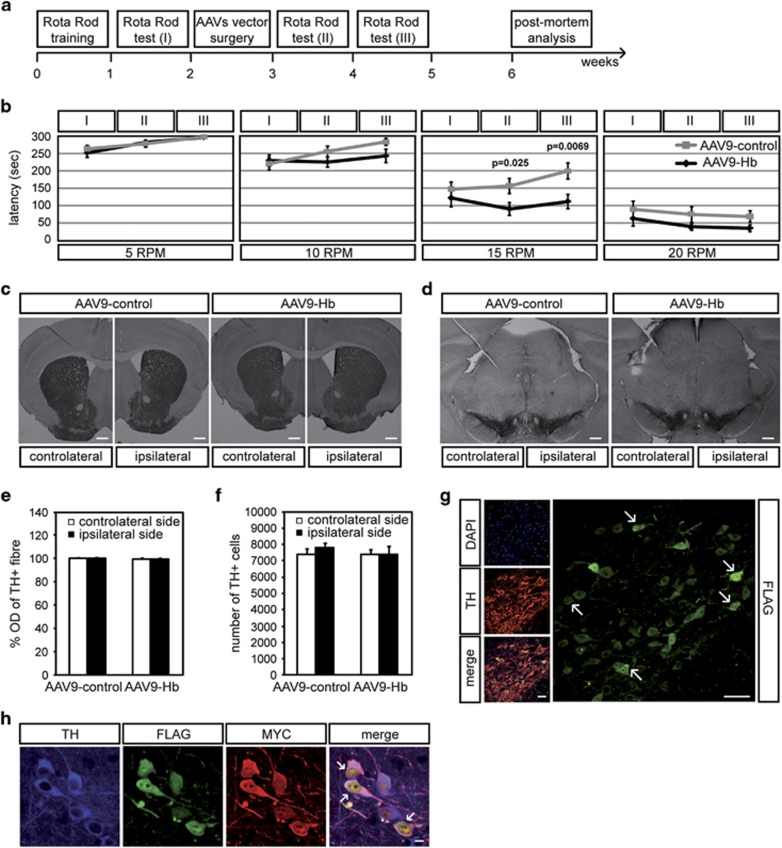 AAV9-mediated delivery of Hb in SNpc inhibits improvement of motor performance and triggers Hb aggregates in DA cells. ( a ) Scheme of experimental settings. ( b ) Latency in rotarod test in AAV9-control ( n =18) and AAV9-Hb ( n =19) mice at 5, 10, 15 and 20 r.p.m. ( c ) Immunohistochemistry of coronal sections of AAV9-control and AAV9-Hb mouse brain. TH + fibres in the striatum were stained with anti-TH antibody. Scale bar 800 μ m. ( d ) Immunohistochemistry of coronal sections of AAV9-Hb and AAV9-control mouse brain. SN was stained with anti-TH antibody. Scale bar 200 μ m. ( e ) Densitometric analysis of TH + fibres in AAV9-Hb ( n =18) and AAV9-control ( n =18) mice. Values are expresses as a percentage relative to the contralateral side of AAV9-control mice, arbitrary set to 100%. ( f ) Quantitative analysis of TH + cells number in AAV9-Hb ( n =16) and AAV9-control ( n =15) mice. Values are expressed as the number of total TH + cells relative to the contralateral side of AAV9-control mice. ( g ) Immunohistochemistry of coronal sections of AAV9-Hb mouse brain. SN was stained with anti-TH antibody. Infected cells were stained with anti-FLAG ( α -globin) antibody. Arrow indicates α -globin aggregates. Nuclei were visualized with DAPI (4,6-diamidino-2-phenylindole). Scale bar 50 μ m. ( h ) Immunohistochemistry of coronal sections of AAV9-Hb mouse brain. SN was stained with anti-TH antibody. Infected cells were stained with anti-FLAG ( α -globin) and anti-MYC ( β -globin) antibodies. Arrow indicates globin aggregates. Scale bar 10 μ m. All data are represented as mean±S.E.M. Data were evaluated statistically by one-way analysis of variance. Resulting P -values are indicated