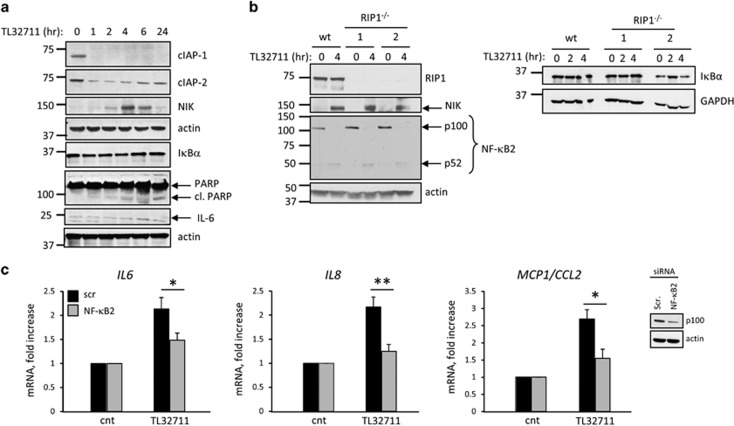 SM-induced upregulation of pro-inflammatory cytokines is mediated by activation of the non-canonical NF- κ B pathway. ( a ) Immunoblot analysis showing expression of cIAP-1, cIAP-2, NIK, I κ B α , PARP, IL-6 and actin (loading control) in H69 cells treated with TL32711 for the indicated times. ( b ) Immunoblot analysis showing expression of RIP1, NIK, NF- κ B2, actin (loading control), I κ B α and GAPDH (loading control) in H69 and RIP1 −/− H69 cells treated with TL32711 for the indicated times. ( c ) IL6 , IL8 and MCP1/CCL2 gene expression analyzed by qPCR in NHC cell line transiently transfected with siRNA against NF- κ B2 (p100) or scrambled siRNA for 48 h and incubated in the presence or absence (cnt) of TL32711 for 4 h. Efficiency of the knockdown was evaluated by immunoblot (insert). Data are expressed as fold increase over control. Mean±S.E. are depicted from six independent experiments. * P