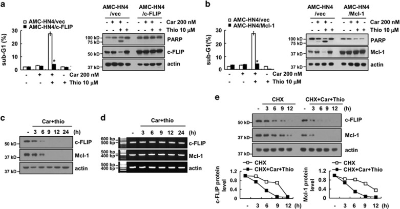 Downregulation of c-FLIP and Mcl-1 expression by carboplatin plus thioridazine contributes to apoptosis. ( a and b ) AMC-HN4 cells were transiently transfected with pcDNA 3.1-c-FLIP ( a ) or pFLAG-CMV-4/Mcl-1 ( b ). Twenty-four hours after transfection, cells were treated with 200 nM carboplatin in the presence or absence of 10 μ M thioridazine for 24 h. The sub-G1 fraction was measured by flow cytometry. The protein expression levels of PARP, c-FLIP, Mcl-1, and actin were determined by western blotting. The level of actin was used as a loading control. ( c and d ) AMC-HN4 cells were treated with 200 nM carboplatin plus 10 μ M thioridazine for the indicated time periods. The protein and mRNA expression levels of c-FLIP, Mcl-1, and actin were determined by western blotting and RT-PCR, respectively. The level of actin was used as a loading control. ( e ) AMC-HN4 cells were treated with or without 200 nM carboplatin plus 10 μ M thioridazine in the presence of 20 μ g/ml cyclohexamide (CHX) for the indicated time periods. The protein expression levels of c-FLIP, Mcl-1, and actin were determined by western blotting. The level of actin was used as a loading control. The band intensity of the c-FLIP and Mcl-1 protein was measured using ImageJ (public domain JAVA image-processing program ImageJ ( http://rsb.info.nih.gov/ij ). The values in a and b represent the mean±S.D. from three independent samples. * P