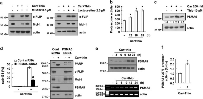 Combined treatment with carboplatin and thioridazine upregulated the expression of PSMA5. ( a ) AMC-HN4 cells were pretreated with 0.5 μ M MG132 and 2.5 μ M lactacystin for 30 min and were then combined with 200 nM carboplatin plus 10 μ M thioridazine for 24 h. The protein expression levels of c-FLIP, Mcl-1, and actin were determined by western blotting. The level of actin was used as a loading control. ( b ) AMC-HN4 cells were treated with 200 nM carboplatin plus 10 μ M thioridazine for the indicated time periods. After treatment, the cells were lysed, and the proteasome activity was measured as described in the Materials and Methods section. ( c ) AMC-HN4 cells were treated with 200 nM carboplatin in the presence or absence of 10 μ M thioridazine for 24 h. The protein expression levels of PSMA5 and actin were determined by western blotting. The level of actin was used as a loading control. The band intensity of the PSMA5 protein was measured using ImageJ (public domain JAVA image-processing program ImageJ ( http://rsb.info.nih.gov/ij ). ( d ) AMC-HN4 cells were transiently transfected with a control siRNA or PSMA5 siRNA. Twenty-four hours after transfection, the cells were treated with 200 nM carboplatin plus 10 μ M thioridazine for 24 h. The sub-G1 fraction was measured by flow cytometry as an indicator of the level of apoptosis. The protein expression levels of PARP, c-FLIP, Mcl-1, PSMA5, and actin were determined by western blotting. The level of actin was used as a loading control. ( e ) AMC-HN4 cells were treated with 200 nM carboplatin plus 10 μ M thioridazine for the indicated time periods. The protein and mRNA expression levels of PSMA5 and actin were determined by western blotting and RT-PCR, respectively. ( f ) AMC-HN4 cells were transiently transfected with a plasmid harboring the luciferase gene under the control of the PSMA5/-277 promoter. After transfection, the cells were treated with 200 nM carboplatin plus 10 μ M thioridazine for 24 h. The luciferase activity was analyzed. The values in b , d , and f represent the mean±S.D. from three independent samples. * P