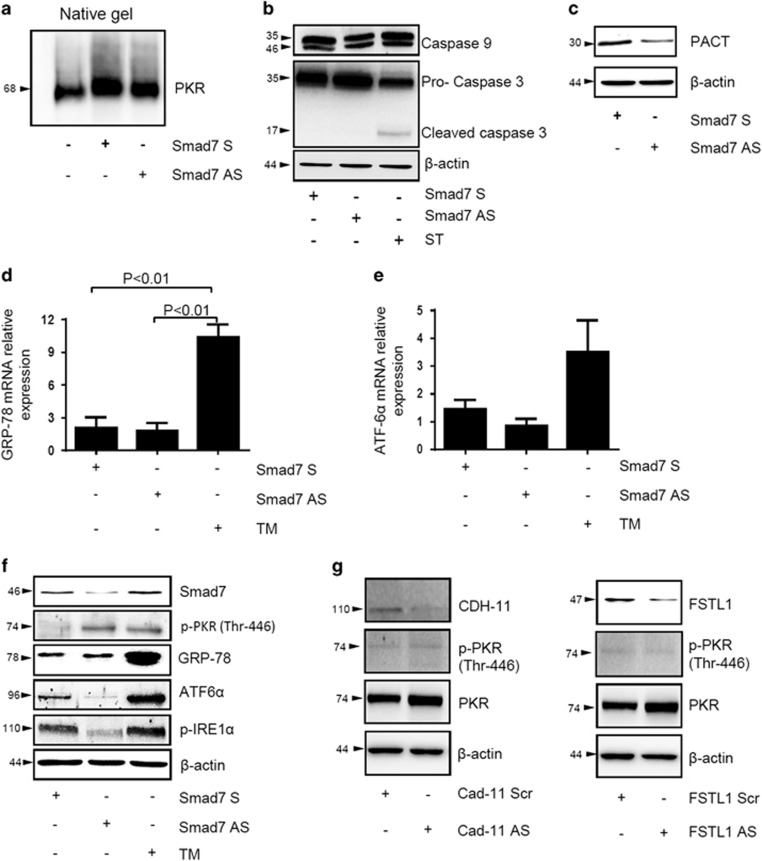 SMAD7 antisense (AS)-induced PKR phosphorylation in DLD-1 cells does not rely on the modulation of known PKR-activating pathways. ( a–c ) DLD-1 cells were transfected with either Smad7 sense (S) or AS oligonucleotide (both used at 2 μ g/ml). After 24 h, PKR ( a ), caspase-9, procaspase-3 and cleaved caspase-3 ( b ) as well as PACT expression ( c ) was assessed by western blotting. Staurosporine (ST) (1 μ g/ml) was used as a positive control for caspase-3 activation. β -Actin was used as loading control. One of three representative experiments is shown. ( d and e ) DLD-1 cells were transfected with either Smad7 S or AS oligonucleotide (both used at 2 μ g/ml). After 24 h, RNA transcripts for the ER stress-related genes GRP-78 ( d ) and ATF6α ( e ) were determined by quantitative PCR. TM (1 μ g/ml) was used as a positive control. Levels are normalized to β -actin. Values mean±S.E.M. of three independent experiments. ( f ) DLD-1 cells were transfected with either Smad7 S or AS oligonucleotide (both used at 2 μ g/ml). After 24 h, Smad7, p-PKR (Thr-446), GRP-78, ATF6 α and p-IRE1 α expression was evaluated by western blotting. β -Actin was used as a loading control. ( g ) DLD-1 cells were transfected with either CAD-11 AS oligonucleotide (used at 400 nM) or FSTL1 AS oligonucleotide (used at 10 nM) along with the respective negative controls (scrambled). After 24 h, cells were washed with PBS and cultured for further 30 min. CDH-11, FSTL1, p-PKR (Thr-446) and PKR expression was assessed by western blotting. β -Actin was used as a loading control. One of three representative experiments is shown